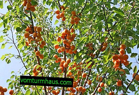 Představuje meruňkovou odrůdu Alyosha