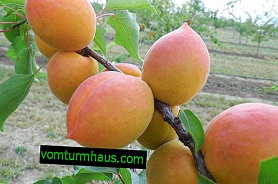 Funktioner av plantering och vård av aprikos Academic