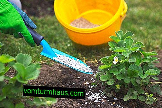 Jak nawozić ziemię jesienią pod truskawkami?