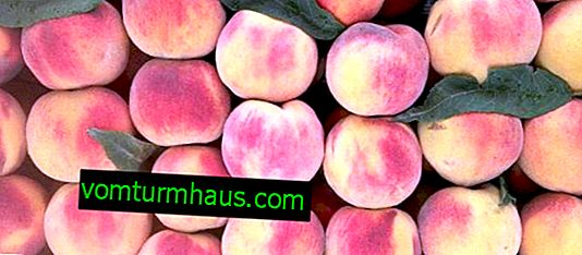 Characteristics and features of growing Gloria peach