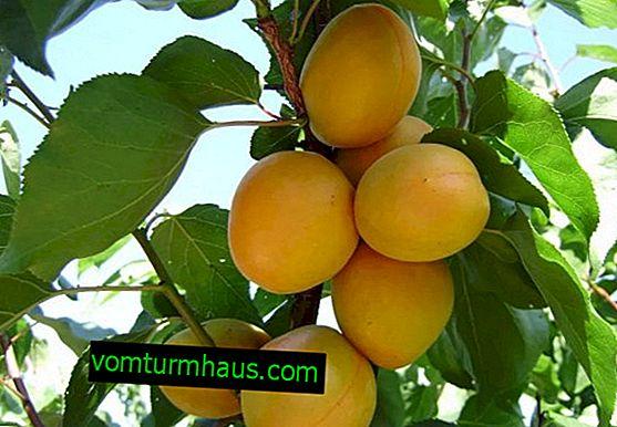 Egenskaper och funktioner hos växande ananas aprikos sorter
