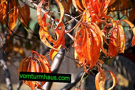 Преработка на праскова през есента от болести