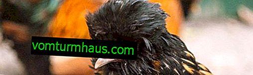 Tepeli Tavuklar: Cinsin isimleri, tanımları ve özellikleri