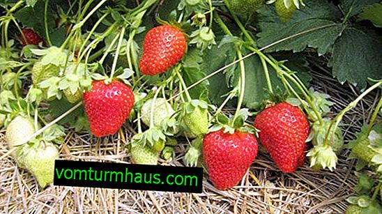 Växande och vårdande Arosa jordgubbssort
