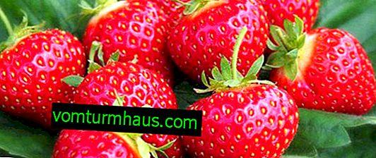 Strawberry Honey: egenskaber og beskrivelse af sorten