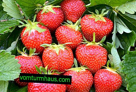 Indeholder plantning og pleje af jordbærsorter Elsanta