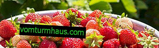 Jordbærafkast fra hundrede og en hektar