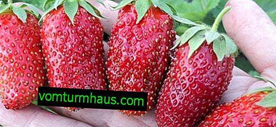 Отглеждане и грижи за ягоди сортове Divnaya