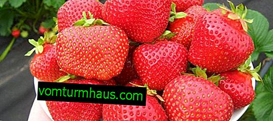 Strawberry varieties Eliane: characteristics and features of cultivation