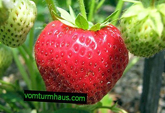 Características de siembra y cuidado de fresas Victoria