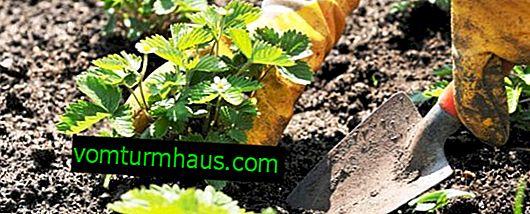 Korrekt plantering av jordgubbar på våren