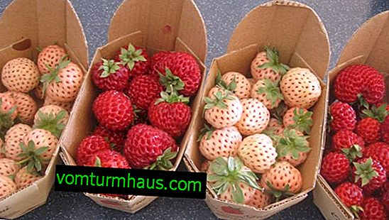 Features of planting and care of a variety of strawberries Pineapple