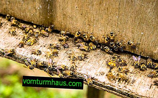 Характеристики на обработката на пчелите с оксалова киселина