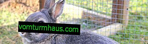 O correto abate de coelhos
