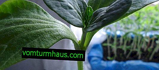 Jak sadzić arbuza na dyni?