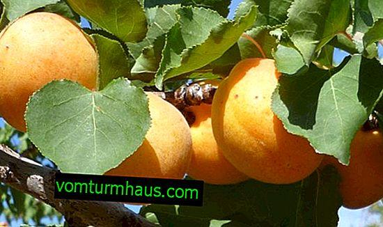 Charakteristika a pravidla pro pěstování meruněk Sibiryak Baikalova