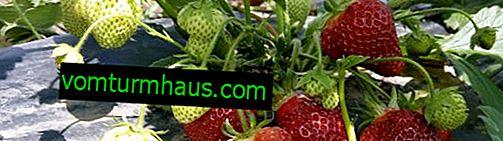 Cultiver des fraises remontantes à la maison et en serre