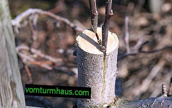 Hur man planterar aprikos på en plommon på våren?