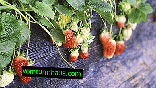 Description and characteristics of Luna strawberries