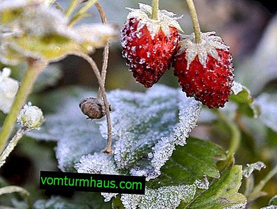 Forberedelse af jordbær til overvintring