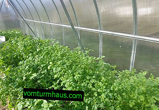Siderats i växthuset: egenskaper, funktioner