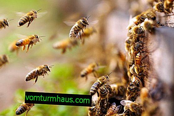 """Vlastnosti drogy """"Dilabic"""" pro včely"""