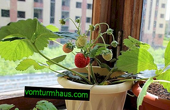Dyrkning af jordbær derhjemme