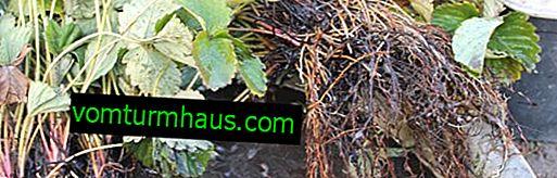 ¿Cómo mantener las plántulas de fresa antes de plantar?