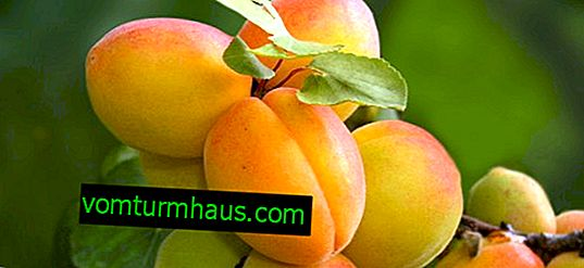 Apricot variety Tsarsky: description and characteristics of the variety