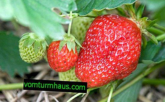 Funktioner av plantering och vård av jordgubbar Elizabeth