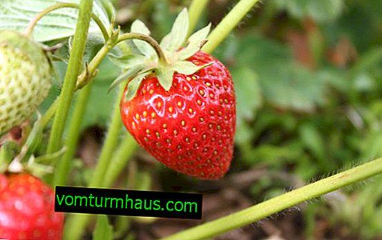 Funktioner ved plantning og pleje af jordbær Polka