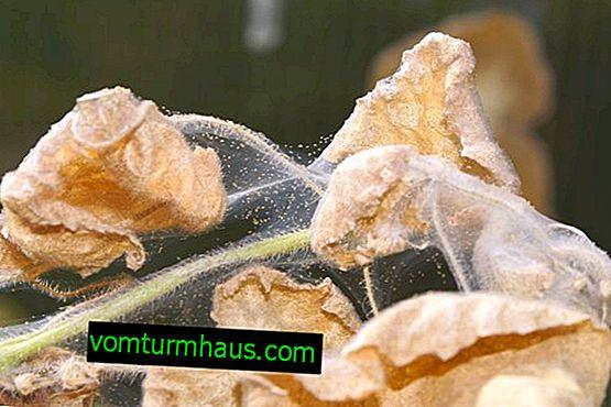 Come sbarazzarsi di un acaro ragno in una serra?