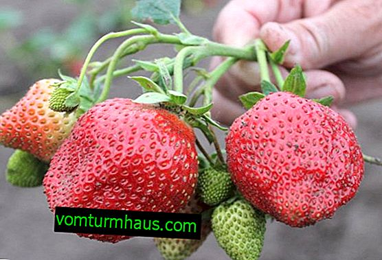 Features of planting and care of strawberries varieties Elizabeth 2