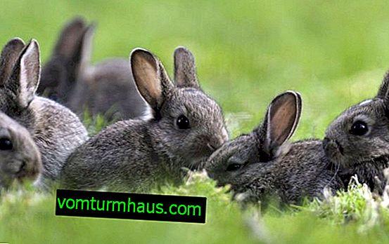 Wie kann man ein Kaninchen zu Hause kastrieren?