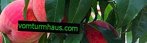 Odrůda broskví Velvyslanec světa: botanický popis a vlastnosti odrůdy