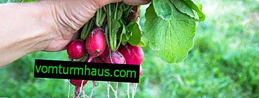 Hvad man skal plante efter radise