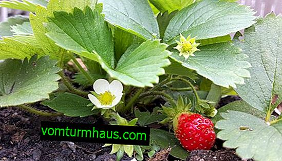 Jordbærbuske til kvinder og mandlige: forskellen