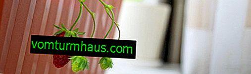 Jak rosną truskawki całoroczny dom