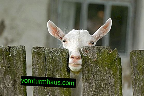 Goat does not come to the hunt: treatment