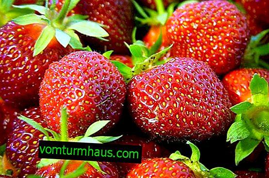 Eigenschaften Pflanzen und Pflege für Erdbeeren Kama