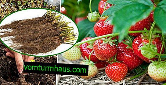 Opis uprawy truskawek w technologii Frigo