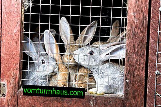 Vedení králíků v uzavřených prostorách: klady a zápory, rysy uspořádání