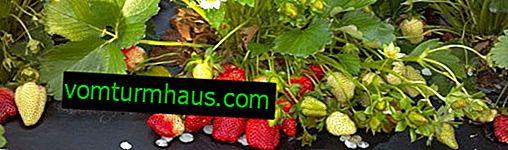 Funktioner ved dyrkning af jordbær i åben jord