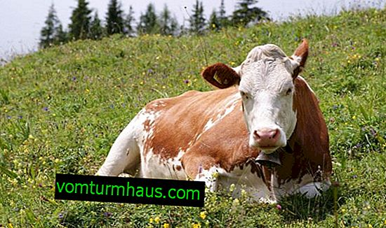 Što učiniti ako krava ima želudac