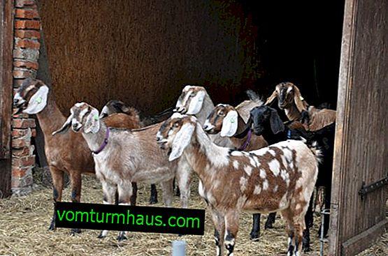 Kozy nubijskie: opis rasy, pielęgnacja i utrzymanie