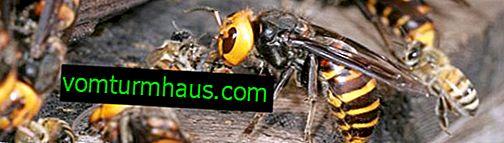 Kako rešiti čebele pred napadi osi v čebelnjaku jeseni