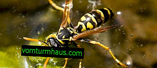 Wasp veya arı kurt: tanımı ve yaşam tarzı