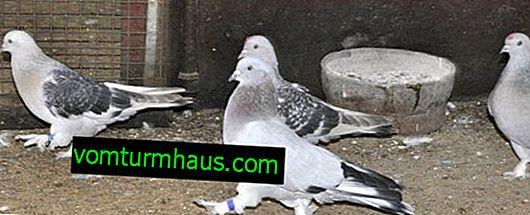 Cómo tratar palitos de paloma