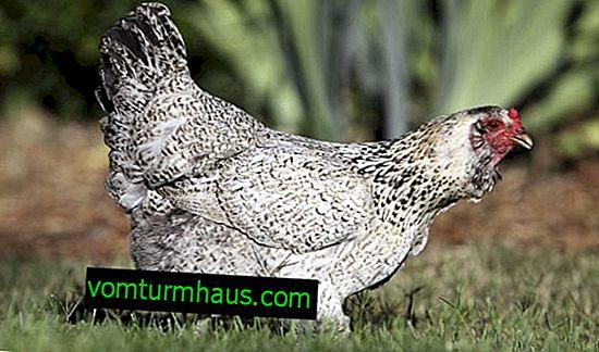 Ameraukana (kycklingras): egenskaper, underhåll och vård