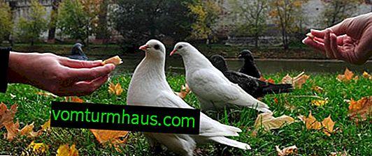 Vilka infektioner och sjukdomar bär duvor och hur kan man skydda sig mot dem?